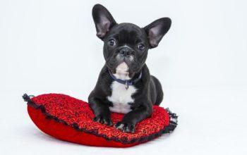 bulldog-1047518_960_720